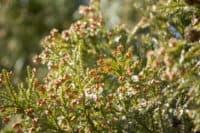 花粉を飛ばす杉